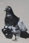 Julius Neubronner Pigeon Photographer