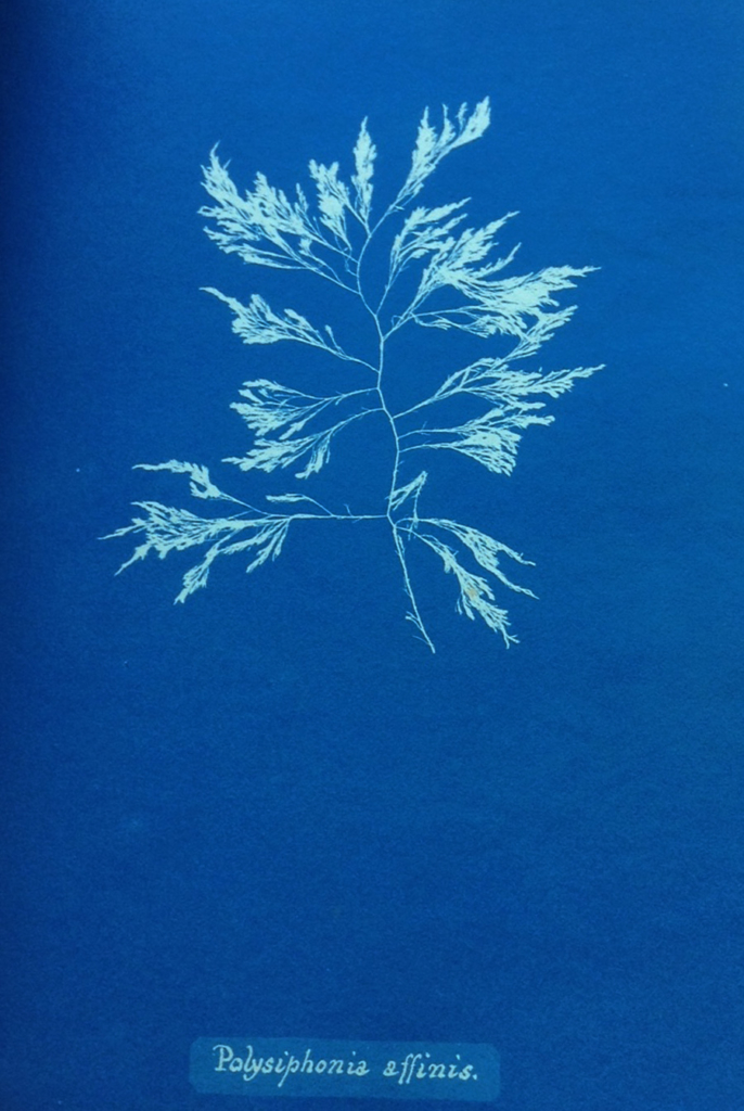 Polysiphonia Affinis by Anna Atkins