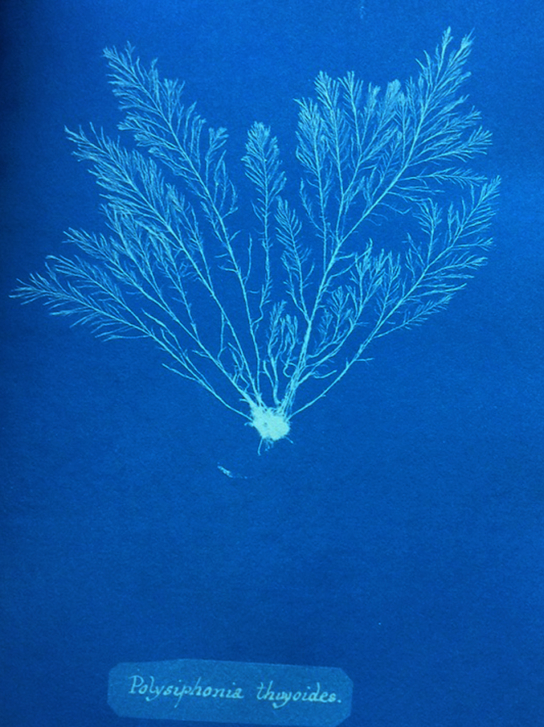 Polysiphonia Thyoides from Anna Atkins' Photographs of British Algae: Cyanotype Impressions
