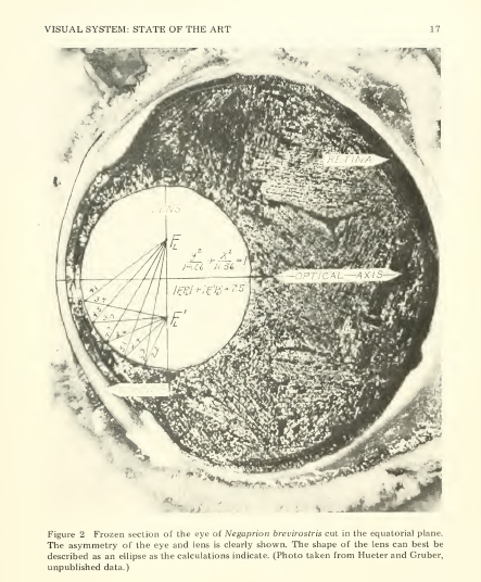 Section of the lemon shark's eye, Gruber, 1978